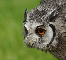 White Faced Scoops Owl by Roger Hall