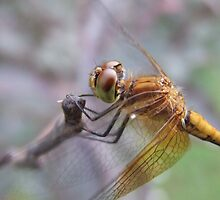 Meadowhawk Detail by Tracy Faught