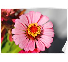 Light Pink Zinnia Poster