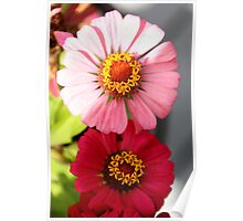 Bright Pink and Light Pink Zinnias Poster