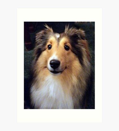 Callie, a Shetland Sheepdog Art Print