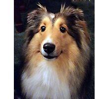 Callie, a Shetland Sheepdog Photographic Print