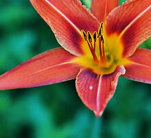 Orange Day Lily Perennial Flower by MissDawnM