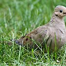 Mourning Dove by KAREN SCHMIDT