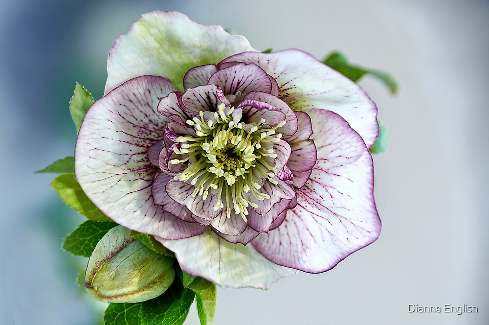 Hellebore by Dianne English