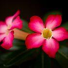 Desert Rose by Dean Mullin