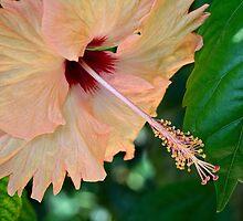 Pastel hibiscus by Celeste Mookherjee