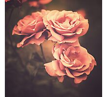Three Pink Roses (Vintage Flower Photography) Photographic Print