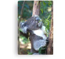 Koala Feeding Canvas Print