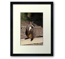 Brush Tailed Rock Wallaby Framed Print