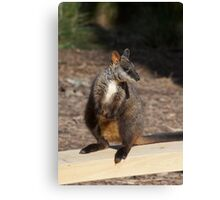 Brush Tailed Rock Wallaby Canvas Print