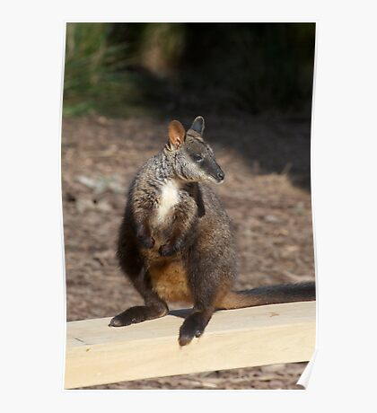 Brush Tailed Rock Wallaby Poster