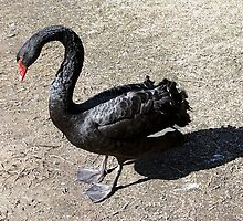 Black Swan by Carole-Anne