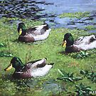 three mallard ducks in pond by martyee