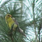 Finch in Pines by complaincan