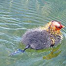 Baby Coot. by Lilian Marshall