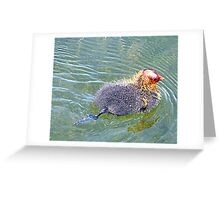 Baby Coot. Greeting Card