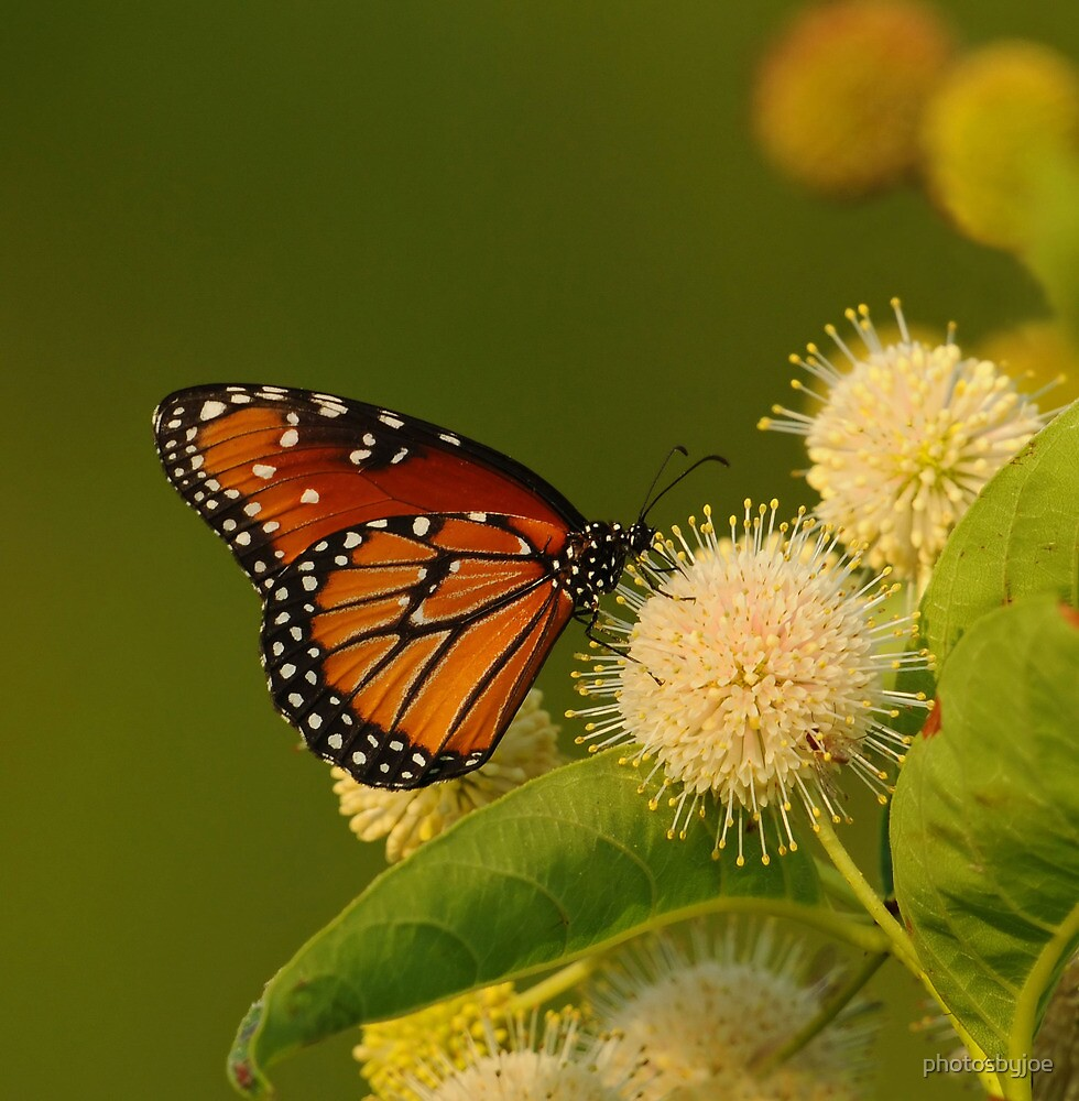 Butterfly on Buttonbush by photosbyjoe