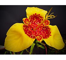 Mexican Shell Flower (Tigridia pavonia) Photographic Print