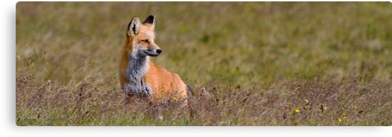 Foxy Panorama by William C. Gladish