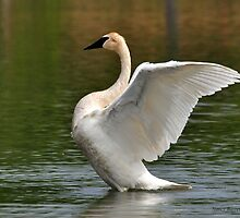 Trumpeter Swan by Nancy Barrett