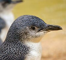 Beautiful Penguin close up. by Carlo Marandola