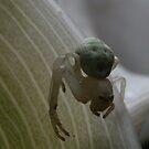Araneae  in macro by Greybeard
