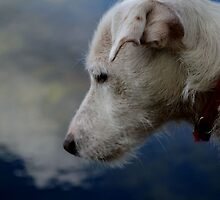 Jack Russell staring /contemplating  by skid
