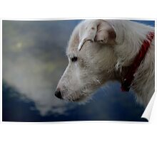 Jack Russell staring /contemplating  Poster
