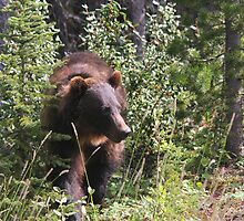 Grizzly Bear by Vickie Emms