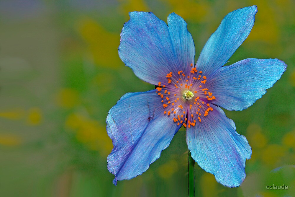 Blue Poppy by cclaude