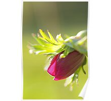 Witnessing Miracles: Anemone Poppy Bud Poster