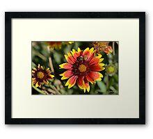 Honeybee on a Common Madia Flower Framed Print