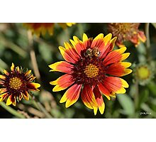Honeybee on a Common Madia Flower Photographic Print