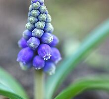 Grape Hyacinth by SunshineKaren