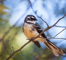 Grey Fantail 2 by mncphotography