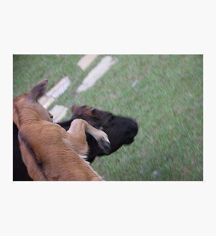 Bull Fight Photographic Print
