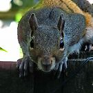 Grey Squirrel by Michaela1991