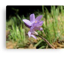 Tiny Blue Dick Wildflower Canvas Print
