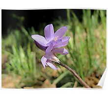 Tiny Blue Dick Wildflower Poster