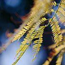 Jacaranda leaves by Oliver Parish
