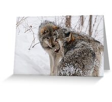 Timberwolves -  Montebello, PQ Greeting Card