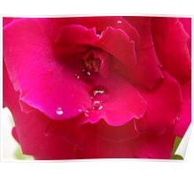 Reddish Pink Rose Poster