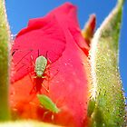 Aphids on a Rose by Amanda Reed
