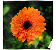 Orange Marigold Poster
