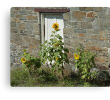 Sunflowers and the Old Stone Wall Canvas Print