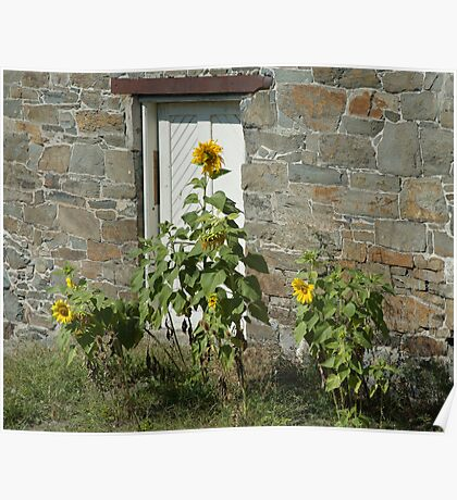 Sunflowers and the Old Stone Wall Poster