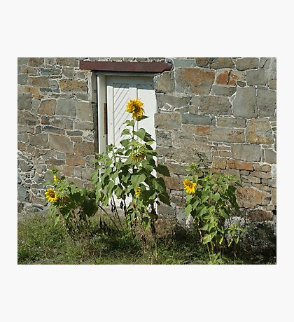 Sunflowers and the Old Stone Wall Photographic Print