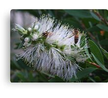 White Bottle Brush with Bees Canvas Print