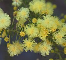 Acacia brunioides  by andrachne
